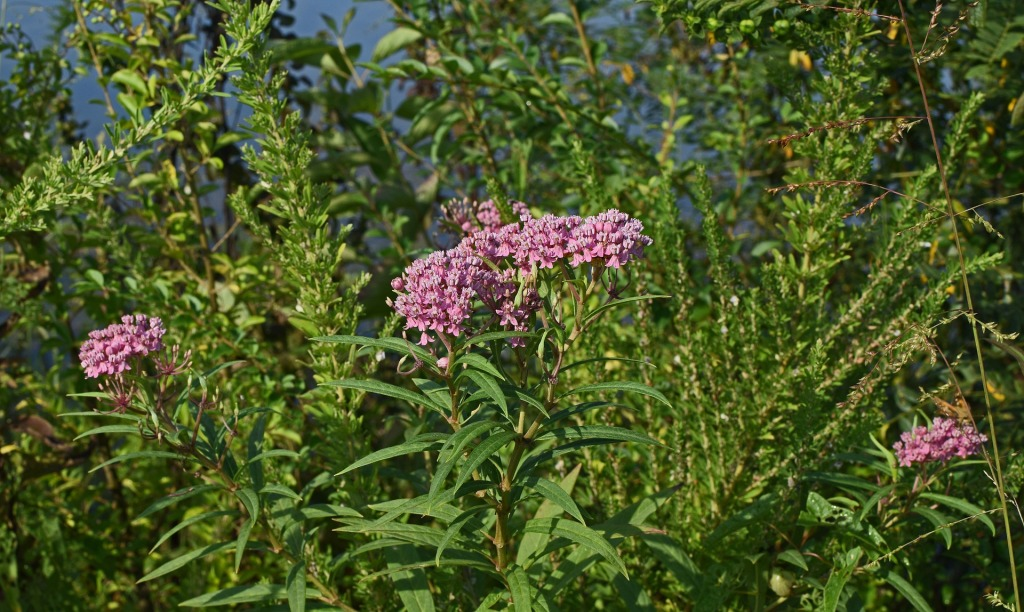 pink milkweed plants to save monarch butterflies