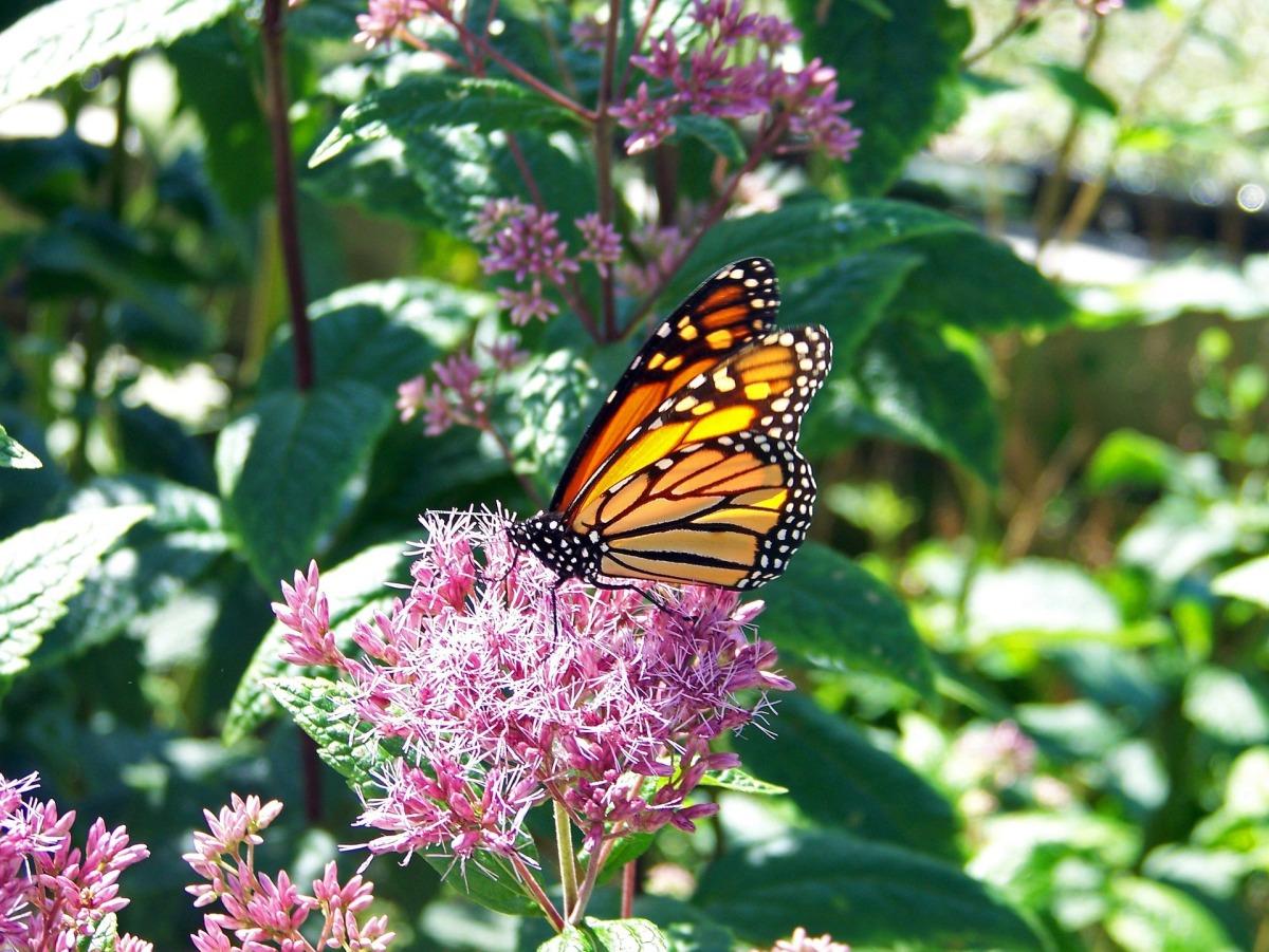 monarch butterfly milkweed