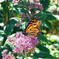 Plant Florida Native Milkweed to Save Monarch Butterflies