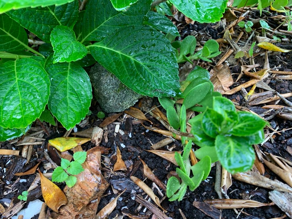 Florida hydrangea garden perennial Spring
